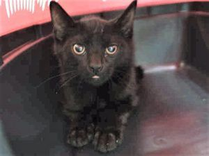 JACK and SPARROW are two 4 month old kittens who are nervous and need socialization.