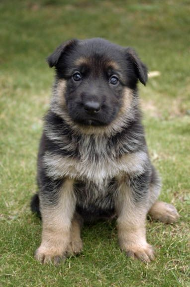 German Shepard pup :)