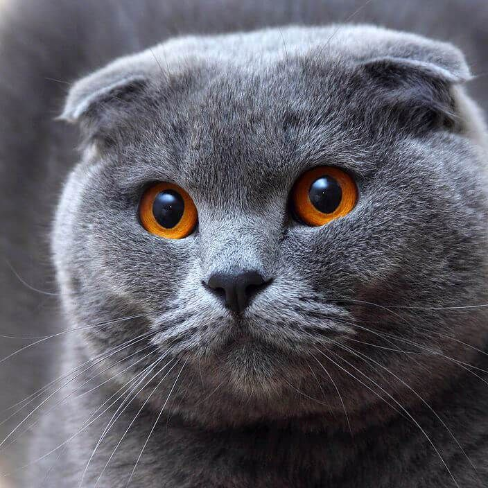 картинки шатланского кота жопа та