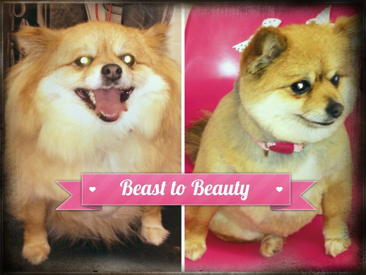 8 best before and after dog grooming photos images on pinterest best dog grooming in san diego bow wow beauty shoppe san diego ca solutioingenieria Image collections