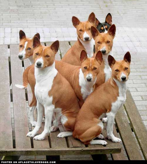 A sweet group of Basenji dogs on a picnic table :)