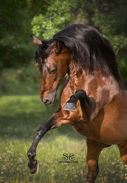 Paso Fino Stallion - Compromiso del Secreto