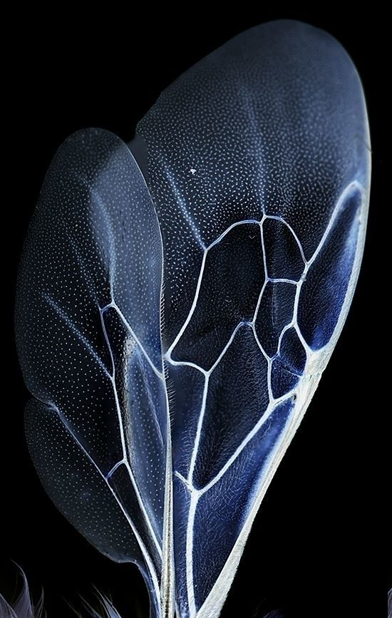 This is what a bee's wing looks like — magnified. swoon.
