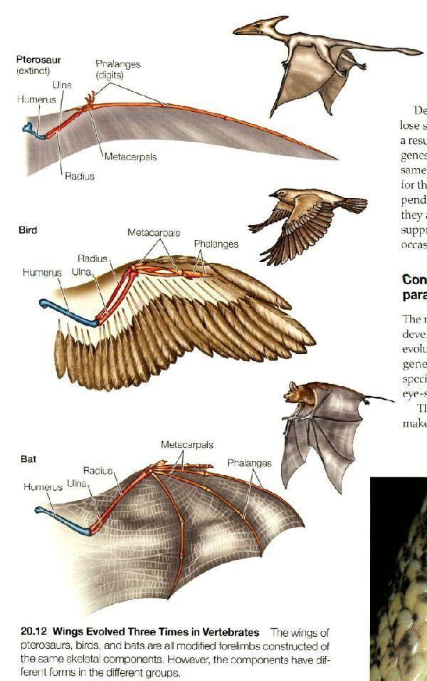 蝙蝠 翅 構造 - Google 検索