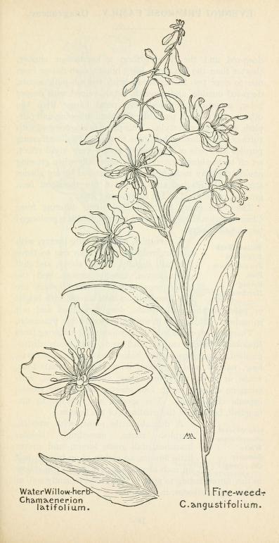 Field book of western wild flowers/분홍 바늘꽃