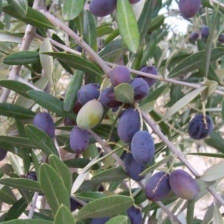 Je wilt een olijfboom snoeien? Plantencentrum Maréchal geeft je uitgebreid advies! Wanneer moet je snoeien? Hoe moet je snoeien? Lees het artikel!