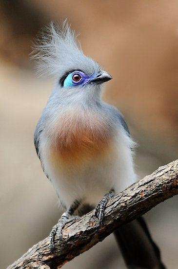 Crested Coua/ es una especie de ave cuculiforme de la familia Cuculidae endémica de Madagascar