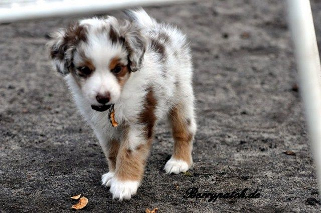 Mini Australian Shepherd Red Merle