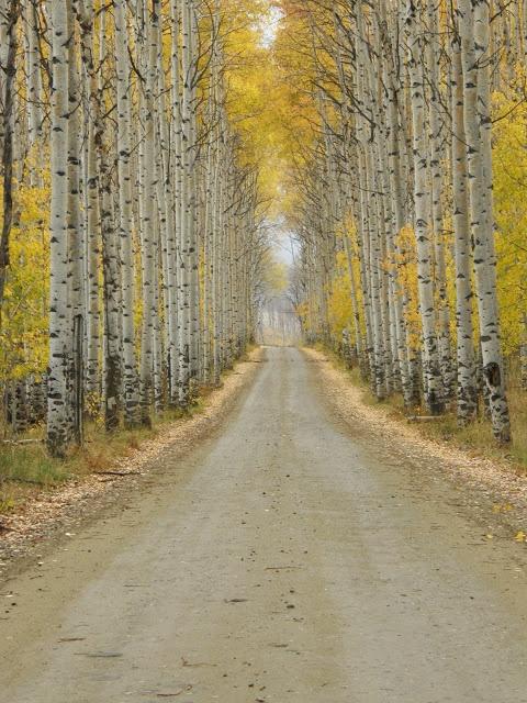 Aspen Alley- Fall in Wyoming