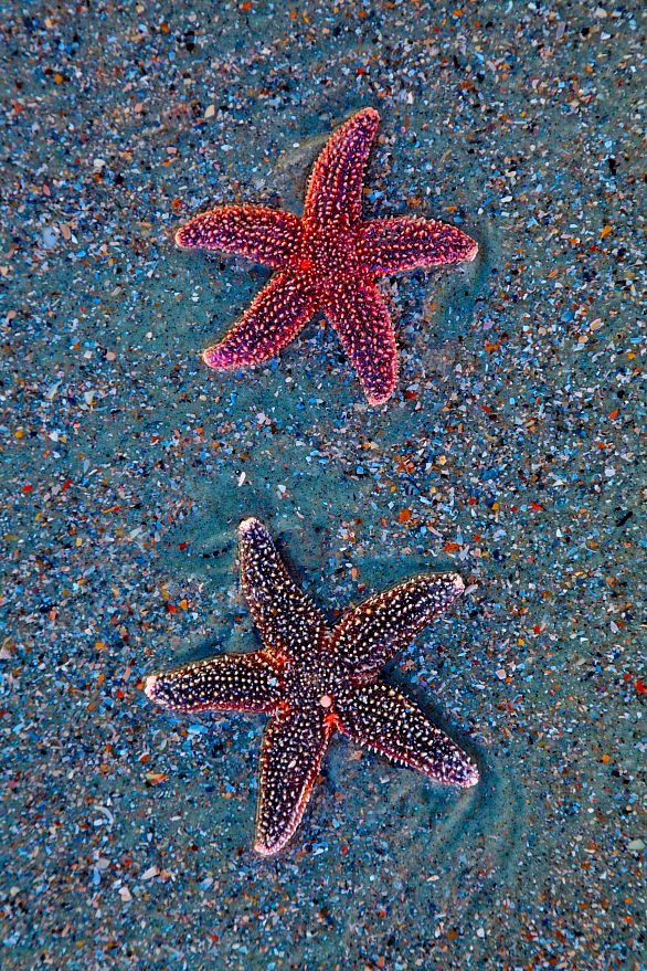 Sea Stars, Folly Beach, SC: found just after proclaiming that i had never found a starfish. within 5 minutes of casual walking, my friend looks down, hands me a starfish!
