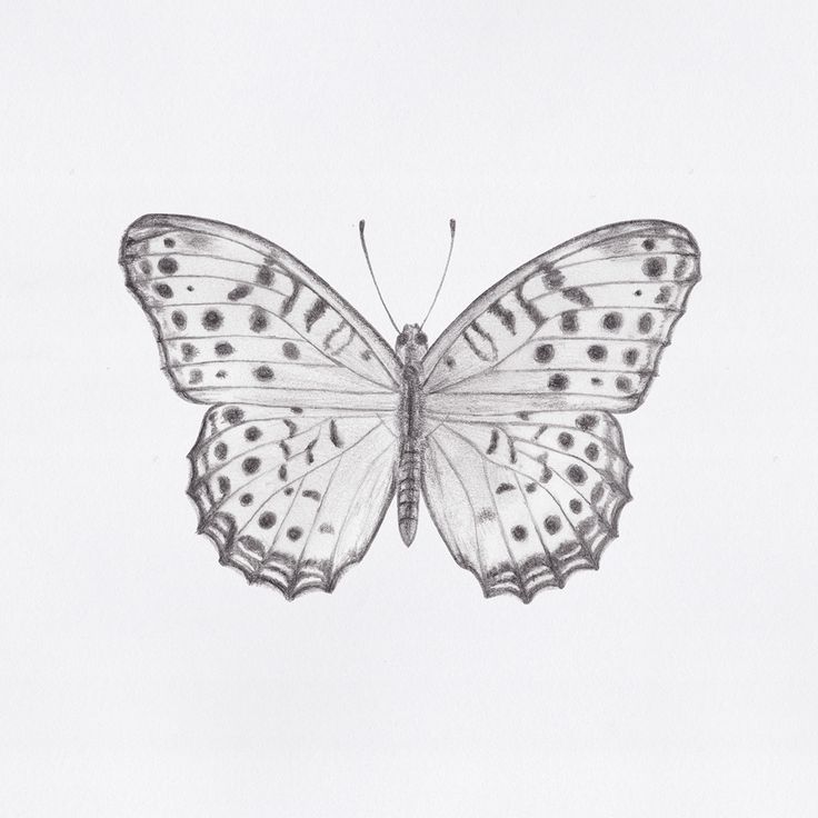 Indian Fritillary butterfly drawing // by Jacqui Humble