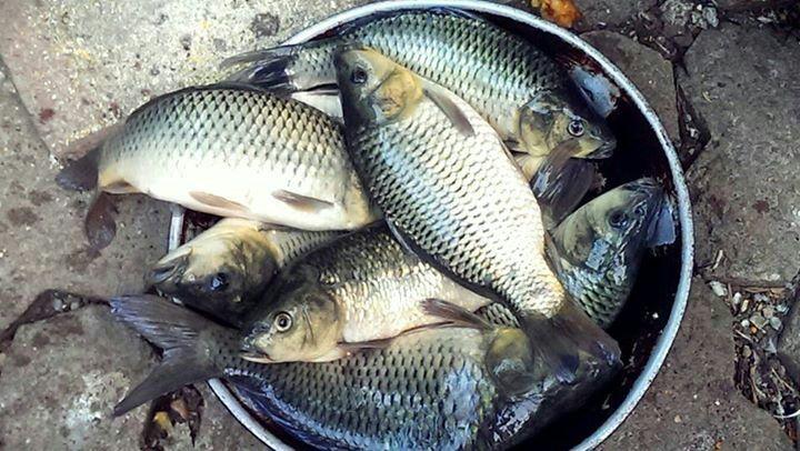 Resep Umpan Pelet Ikan Mas Super Amis Wangi Yang Sangat Disukai Ikan Mas Dengan Campuran Pelet Super Aquatic Akan Memberikan Racikan Umpan S Essen Fish Aquatic