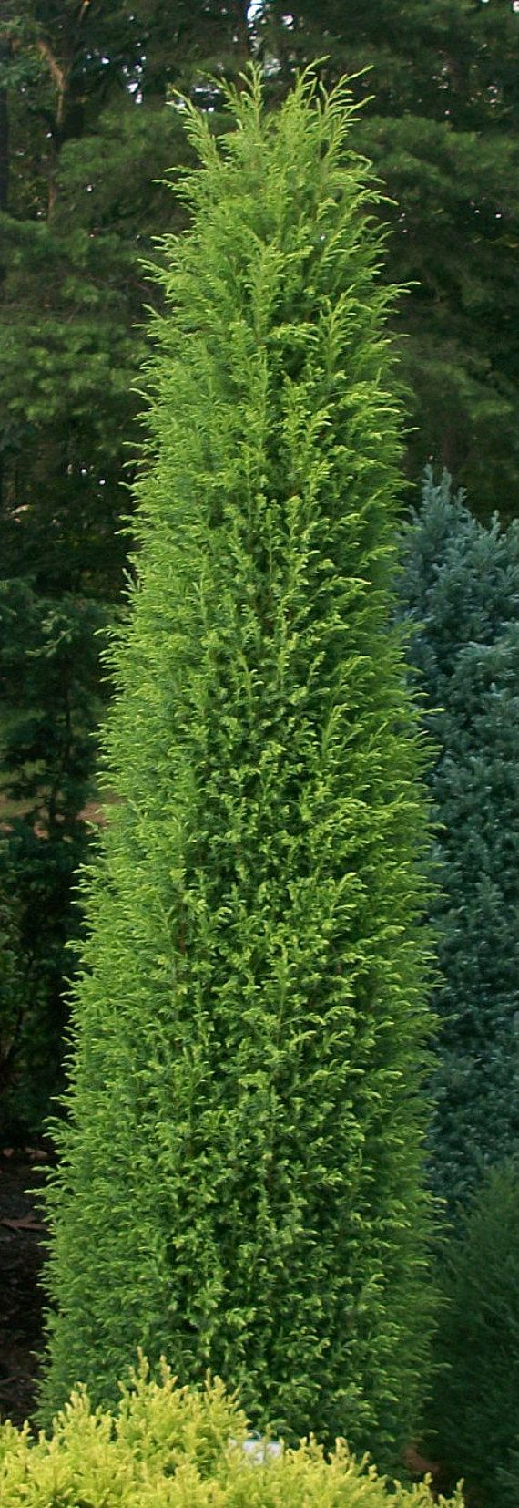 1000 images about beach house christmas on pinterest for Tall evergreen shrubs