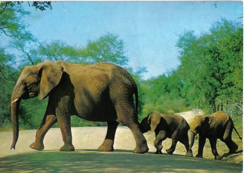 Elephant and calves in the Kruger National Park. Sent to the Netherlands.