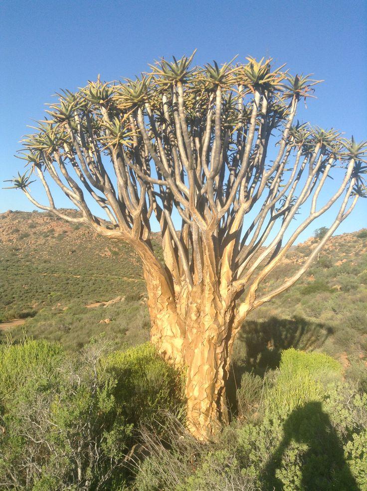 Cape flora: Quiver Tree