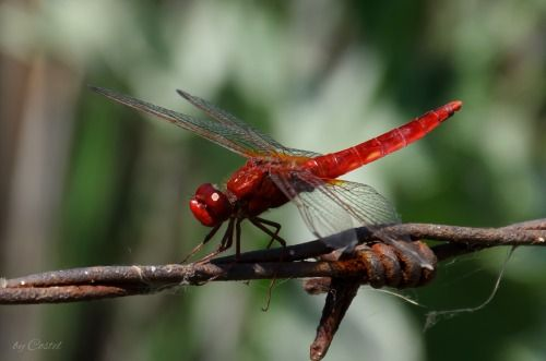 Dragonfly   (Source: facebook.com)