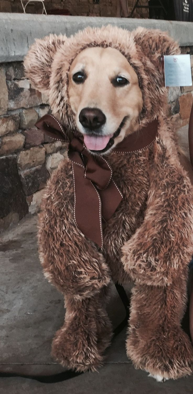 Golden retriever Halloween costume #goldenretriever