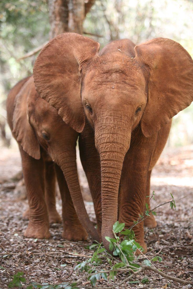 Baby elephant | Turkwel hiding in the bushes with pal Suguta www.sheldrickwildlifetrust.org