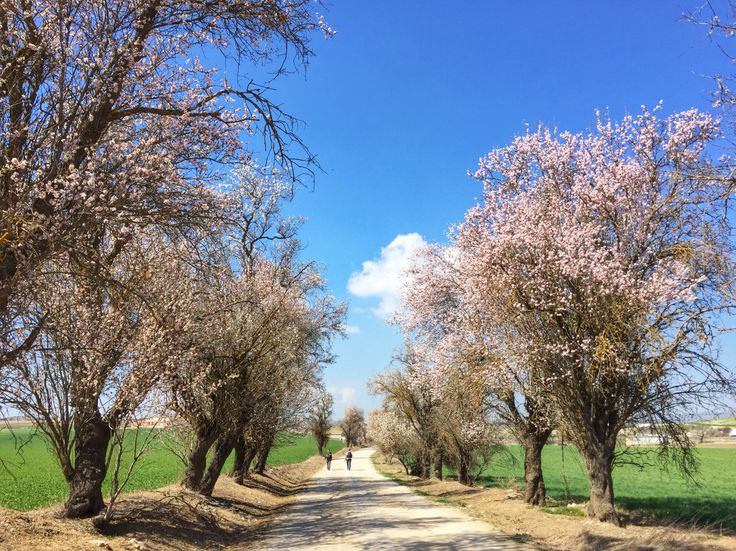 Beautiful rows of almond trees!