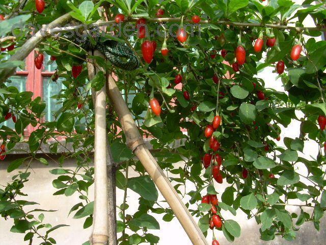 les 25 meilleures id es de la cat gorie goji plante sur pinterest baie fruit goji fruit et. Black Bedroom Furniture Sets. Home Design Ideas