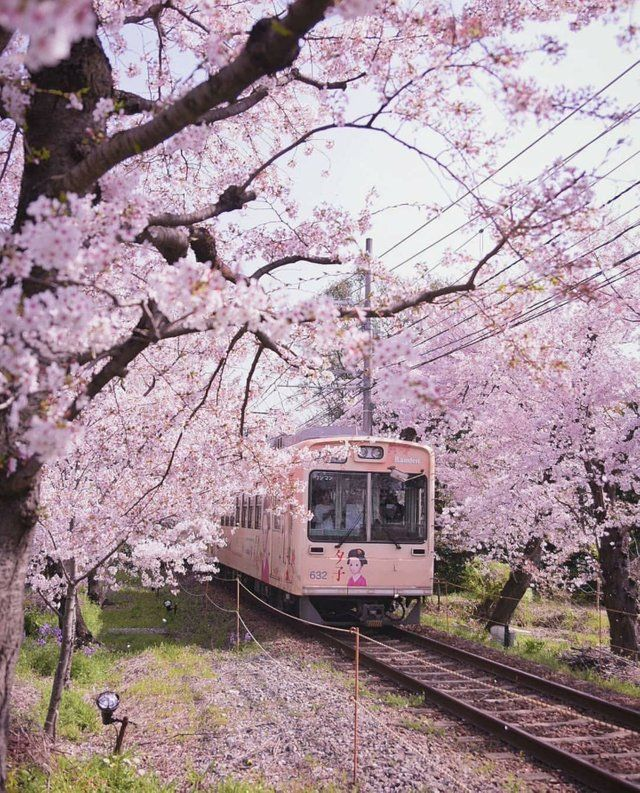 Reddit The Front Page Of The Internet Aesthetic Japan Japan Cherry Blossom Japan