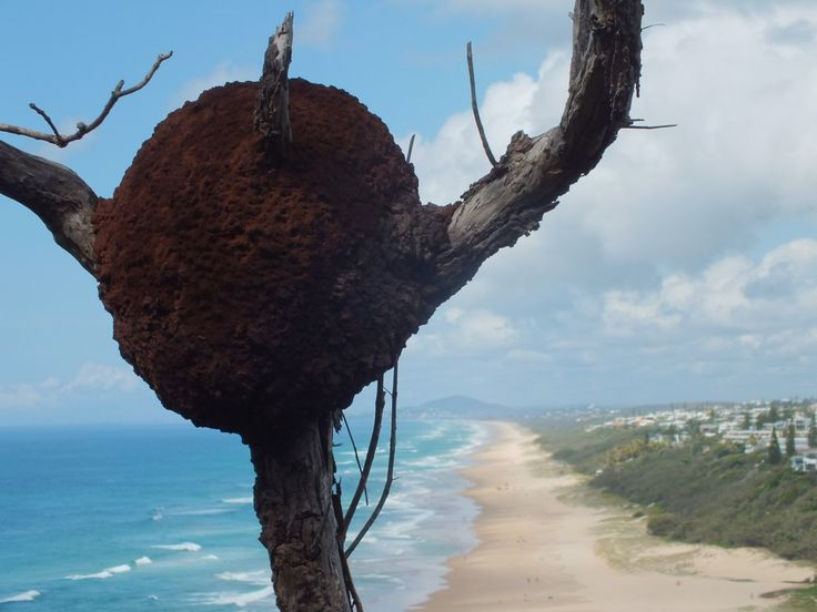 Termite nest with views South from Sunshine Beach A bay track