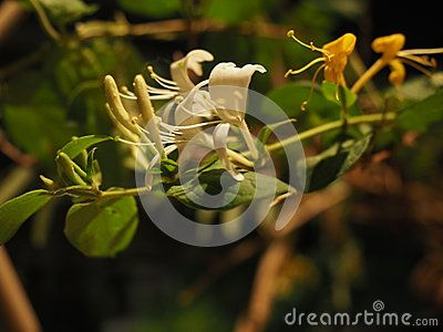 A honeysuckle flower photographed close-up at night