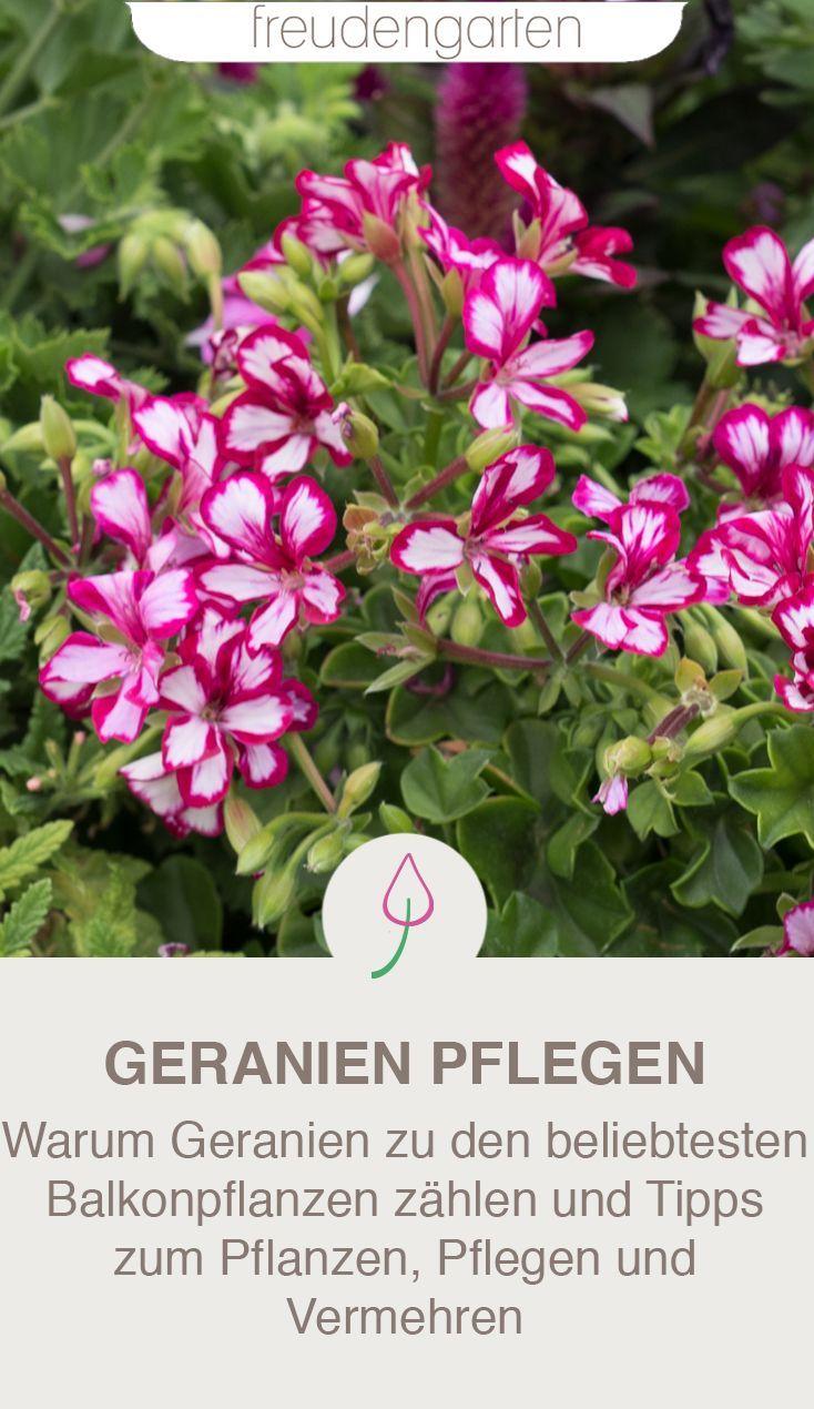 Geranien Pflegen Geranien Pflanzen Und Balkon Pflanzen