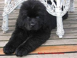 Newfoundlander puppies, sweet