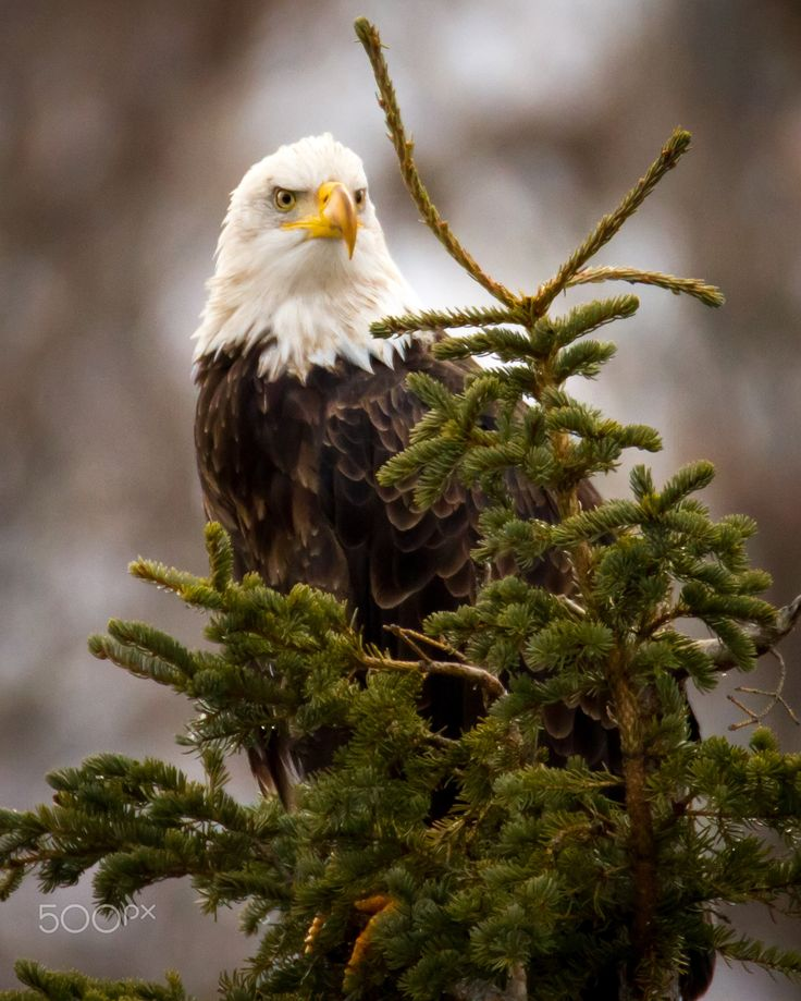 Striking a pose (Bald Eagle)