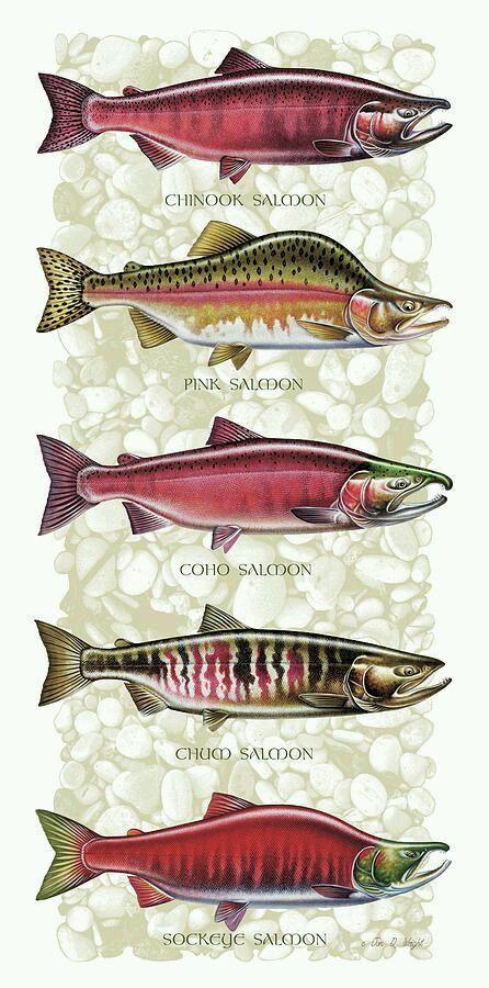 Pacific salmon drawings