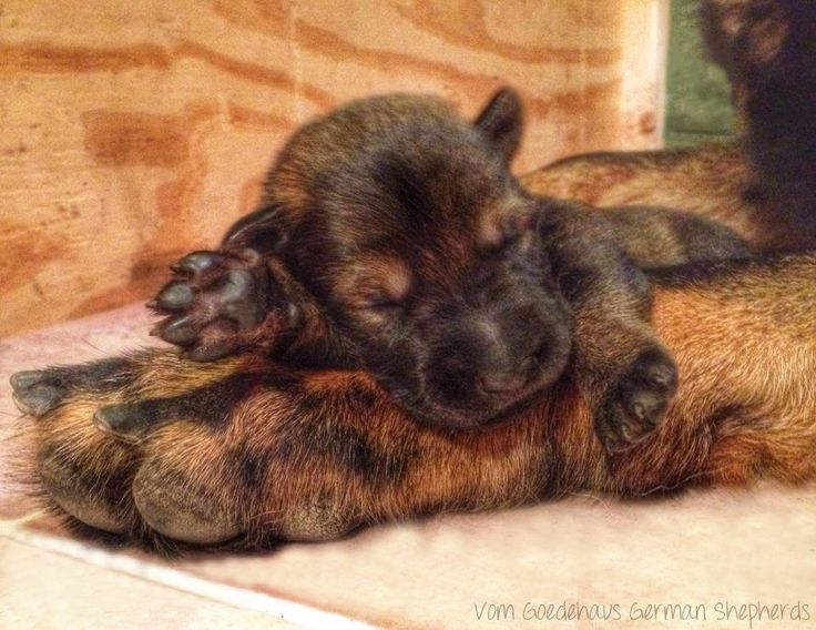 German Shepherd new born Puppy ❤️❤️❤️