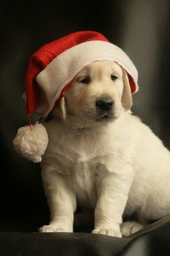 Christmas #Labrador