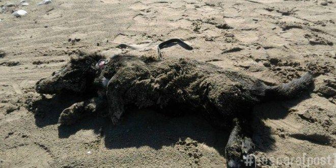 Teramo: il cane morto sulla spiaggia, con la cintura al collo. Forse impiccato
