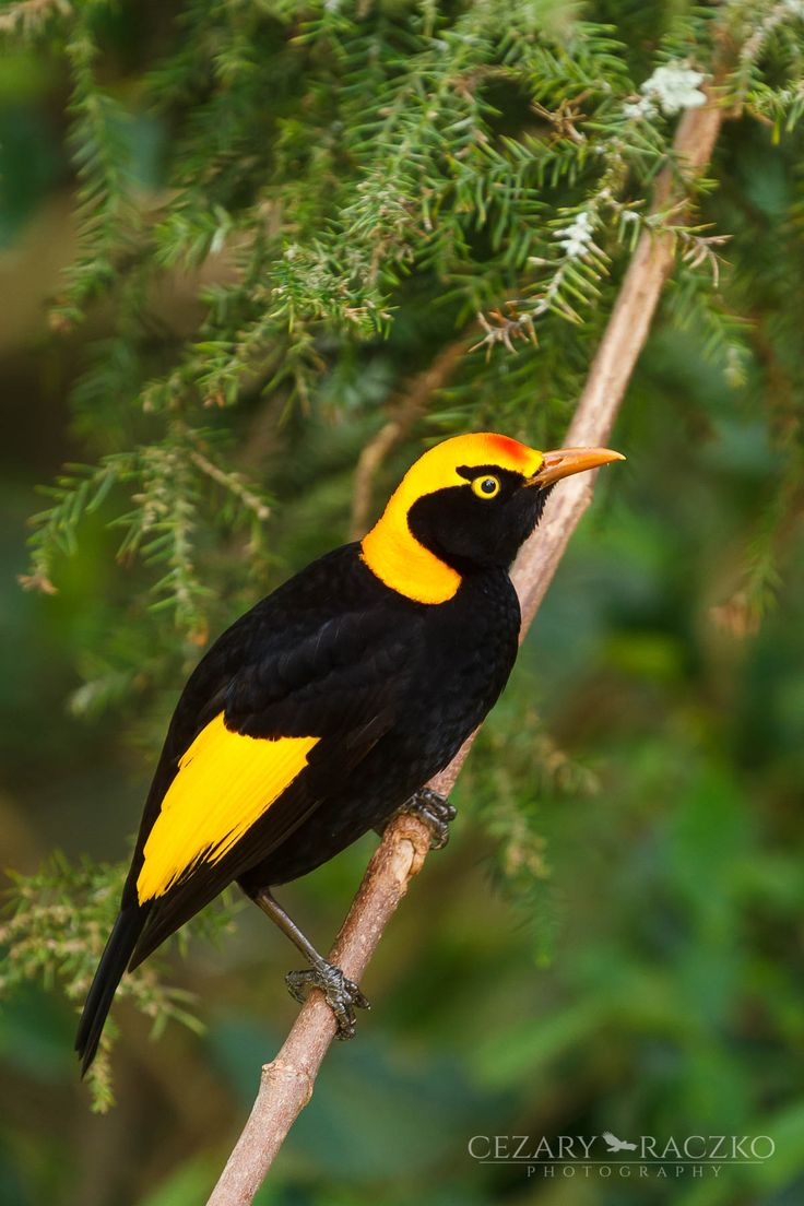 Regent Bowerbird (Sericulus chrysocephalus) - Lamington National Park, Queensland, Australia