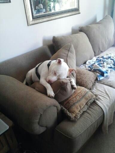 Awww,,,,Sleepy pittie