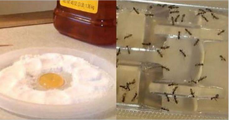 Non vedrai mai più una formica, una pulce o uno scarafaggio in casa con questo unico e potente ingrediente!