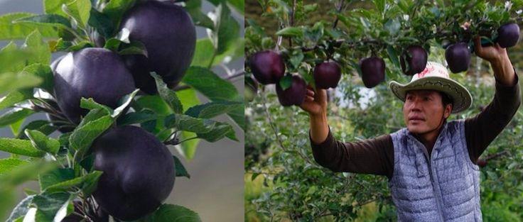 Необычные яблоки сорта Хуа-Ню были выведены садоводами в Китае в 2012 году.  Уникальность нового сорта кроется во внешнем виде: фрукты имеют глубокий черно-сливовый оттенок и насыщенный блеск.   #корпорациясоюзофициальныйсайт #корпорациясоюзкалининградофициальныйсайт #корпорациясоюзгмосква #ассортиментжировсоюз #корпорациясоюзпроизводствопищевыхжиров #корпорациясоюзвакансии #президенткорпорациисоюз