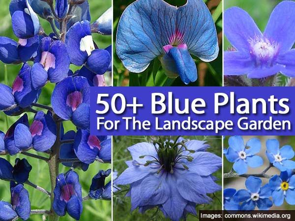 """The color """"blue"""" is one of those colors in the plant world people search for and want more of like orchid Vanda coerulea known as the """"blue"""" Vanda. I will admit the color """"blue"""" in plants is wide open for interpretation, but if you want to add the blue to your garden scheme it's nice …"""
