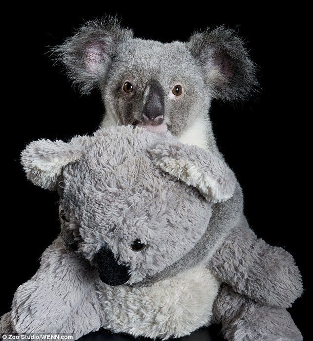 In October 2012 this cute little fella was found beside his dead mother at Coominya, west of Brisbane, Australia. He was named Raymond after...