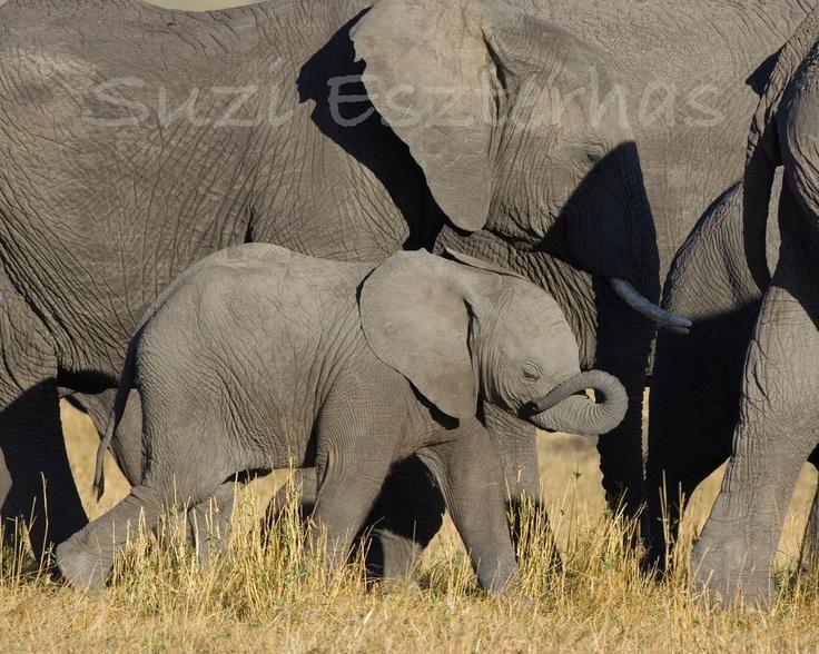 CUTE BABY ELEPHANT Photo, 8 X 10 Print, Baby Animal Photograph, Wildlife Photography, Wall Decor, Nursery Art, African Safari, Nature, Zoo, via Etsy.