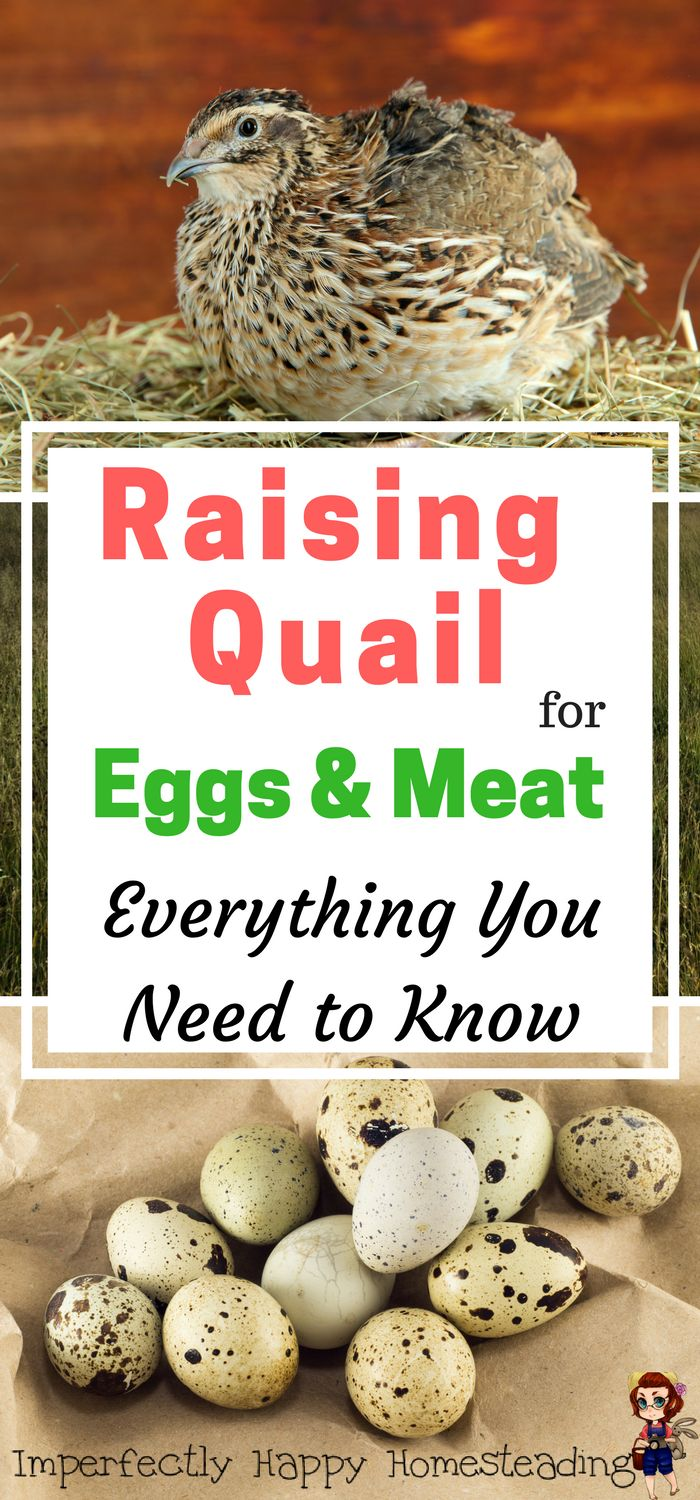 Raising Quail for Eggs & Meat - Everything you need to know. A perfect livestock for small, urban and backyard homesteading.