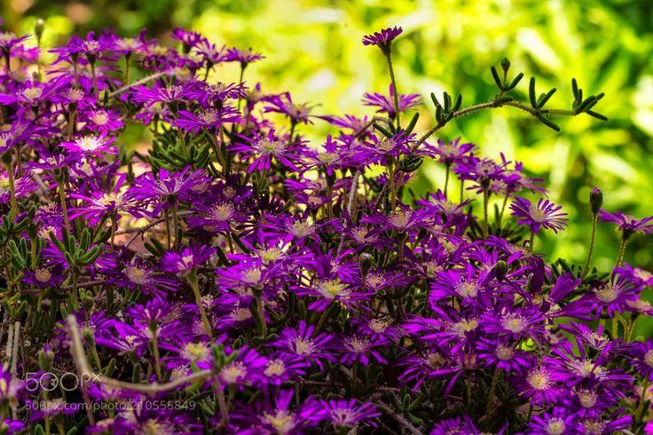 Acem Halısı Çiçeği (Aizoaceae) - Acem Halısı Çiçeği (Aizoaceae) Acem halısı buz çiçeğigiller familyasının ince yapraklı pembe renkli türleridir. Acem halısı çiçeğinin yaprakları küçük ince çubuk şeklinde yumuşak ve pütürlüdür. Dalı incecik ve kısa sert tüylüdür. Acem halısı bir kış çiçeğidir soğuğa dayanıklıdır. Bahçeye dikildiğinde dalları uzayan bir bitki türü olduğundan güzel bir yer örtücüdür. Açık balkonlu saksıda kullanıldığında sarkıcı süs bitkidir. Dayanıklı yapısı sayesinde fazla…