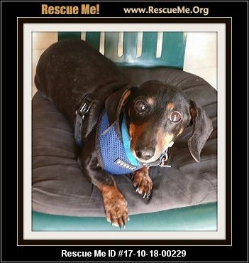 ― Texas Dachshund Rescue ― ADOPTIONS ― RescueMe.Org. I'm Oscar & my Mom went to a nursing home then I was dumped by family at the shelter. She really loved me and I love to be held, sit in your lap or even the big bed. I am 8-9 yrs. old & my foster mom says I am perfect. Pottied trained, loves kids, dogs and all humans. Very well mannered. Are you the family for me?TTWDR does not out of state adopt due to lack of resources.Go to: http://dachshund.rescueme.org/Texas#2 ,Rescue Me ID…