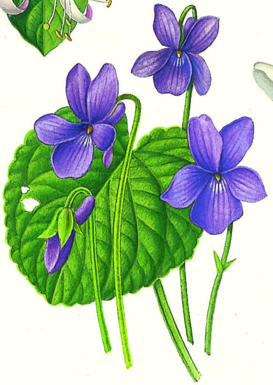 Violette... #viola