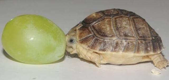 turtleTiny Tim, Tiny Turtles, Grape, Egyptian Tortoies, Adorable, Things, Baby Turtles, Size, Animal