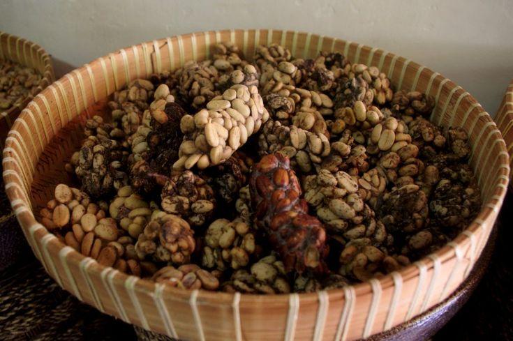 Poopie luwak! Visiting the small scale kopi luwak producer on Sumatra