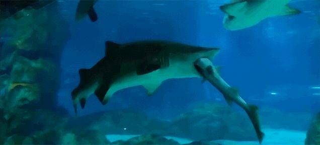 Big Shark Eats Little Shark in Aquarium
