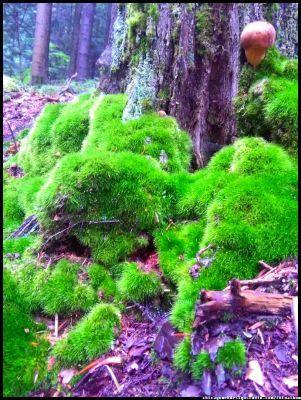 grzyby jadalne - podgrzybek - mushrooms #grzyby #grzybobranie #borowik #szlachetny #boletus #borowiki #prawdziwki #na-grzyby #kosz-grzybów #las #dary-lasu #forest #natura #przyroda #Polska #Poland #grzyby-jadalne #polskie-grzyby #grzybiarz #Adam #Matuszyk #małopolska #Beskidy #mushrooms