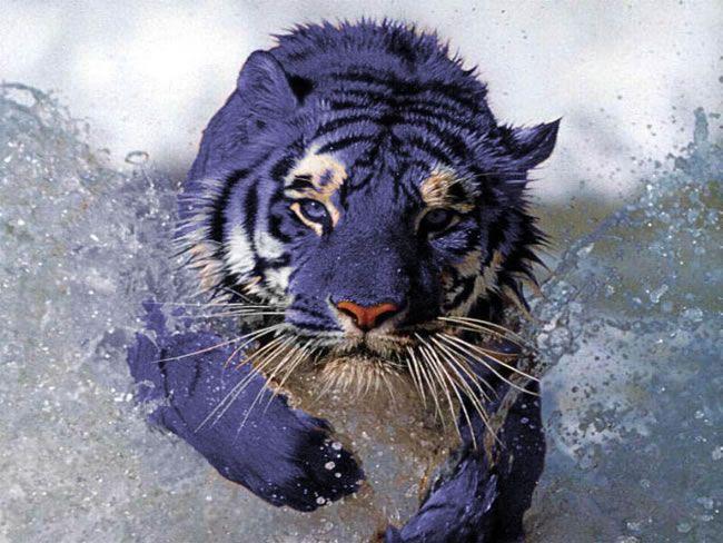 discover-chinas-hidden-secret-the-tiger-with-blue-fur-1